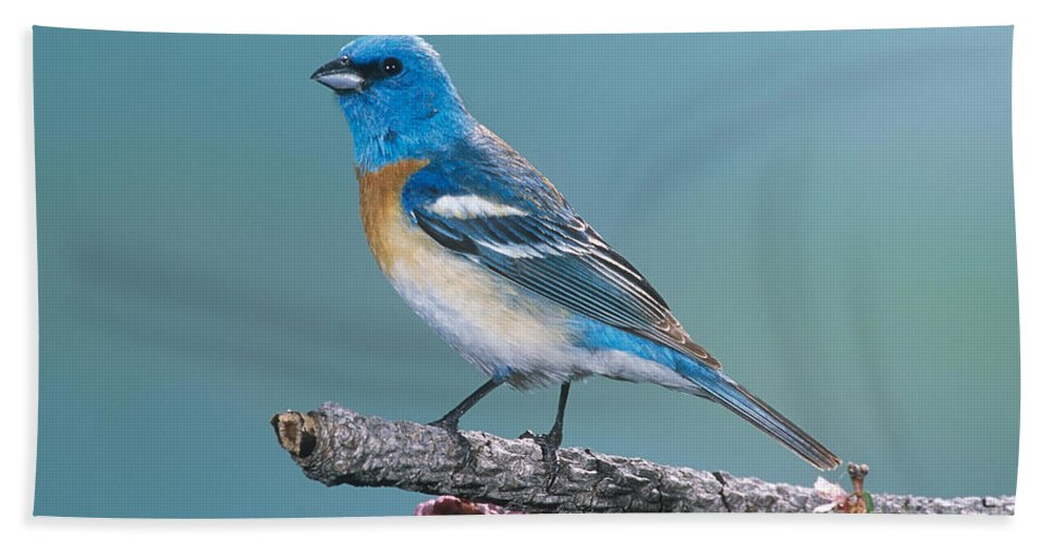 Animal Hand Towel featuring the photograph Lazuli Bunting by Anthony Mercieca