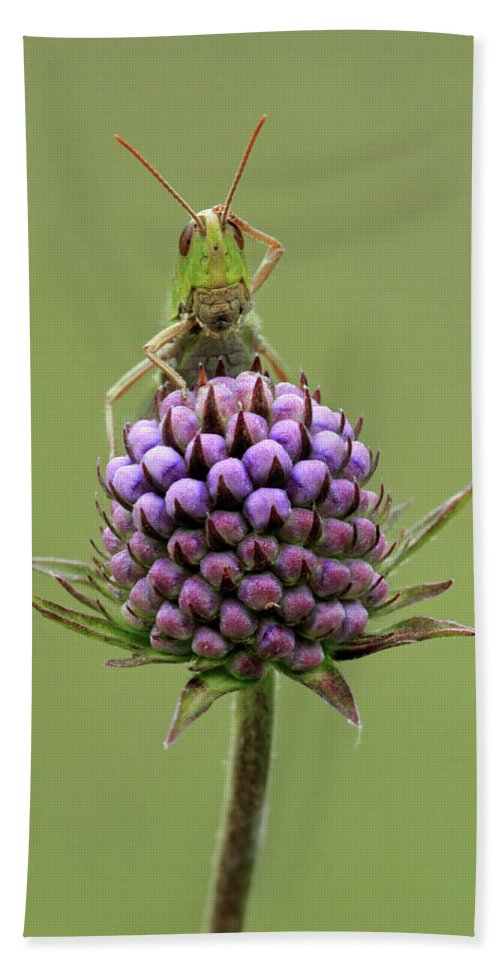 Flpa Hand Towel featuring the photograph Lesser Marsh Grasshopper Chorthippus by Matthew Cole