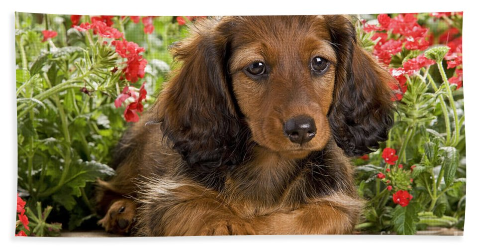 Long-haired Dachshund Bath Sheet featuring the photograph Long-haired Dachshund by Jean-Michel Labat