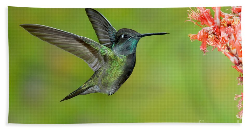 Fauna Hand Towel featuring the photograph Magnificent Hummingbird by Anthony Mercieca