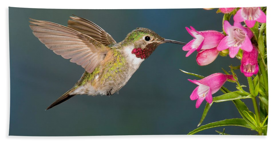 Fauna Hand Towel featuring the photograph Male Broad-tailed Hummingbird by Anthony Mercieca