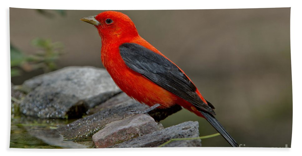 Scarlet Tanager Hand Towel featuring the photograph Male Scarlet Tanager by Anthony Mercieca
