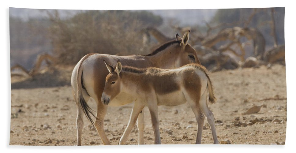 Equus Hemionus Hand Towel featuring the photograph Onager Equus Hemionus 1 by Eyal Bartov
