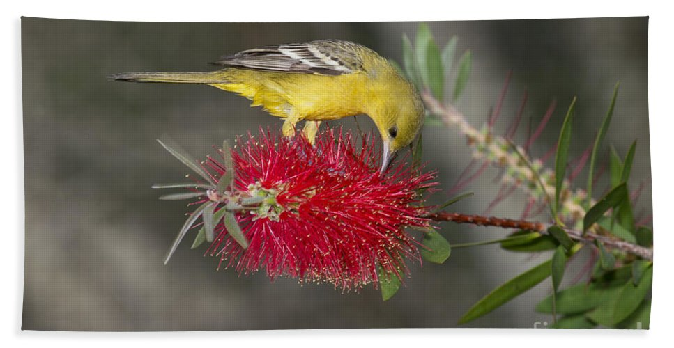 Orchard Oriole Hand Towel featuring the photograph Orchard Oriole by Anthony Mercieca