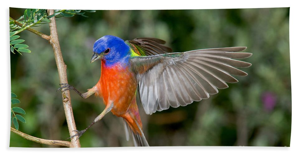Fauna Hand Towel featuring the photograph Painted Bunting by Anthony Mercieca