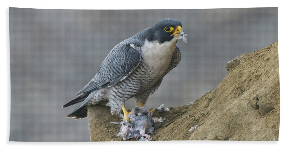 Peregrine Falcon Hand Towel featuring the photograph Peregrine Eating Pigeon by Anthony Mercieca