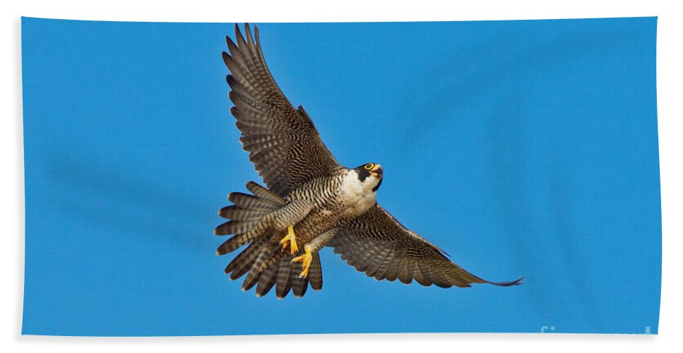 Animal Hand Towel featuring the photograph Peregrine Falcon In Flight by Anthony Mercieca