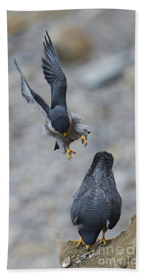 Peregrine Falcon Hand Towel featuring the photograph Peregrine Falcons Mating by Anthony Mercieca