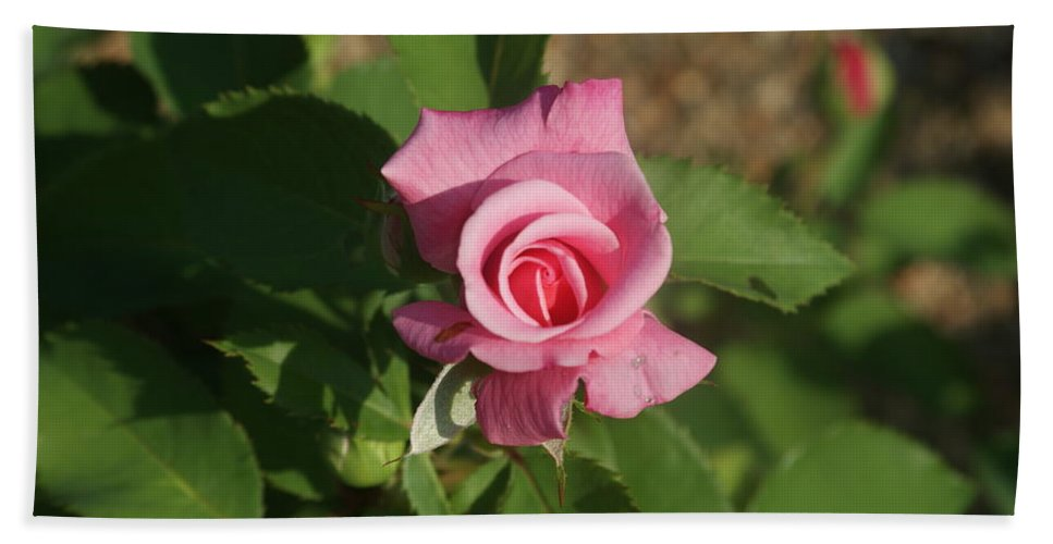 Pink Bath Sheet featuring the photograph Pink Rose... by Rob Luzier