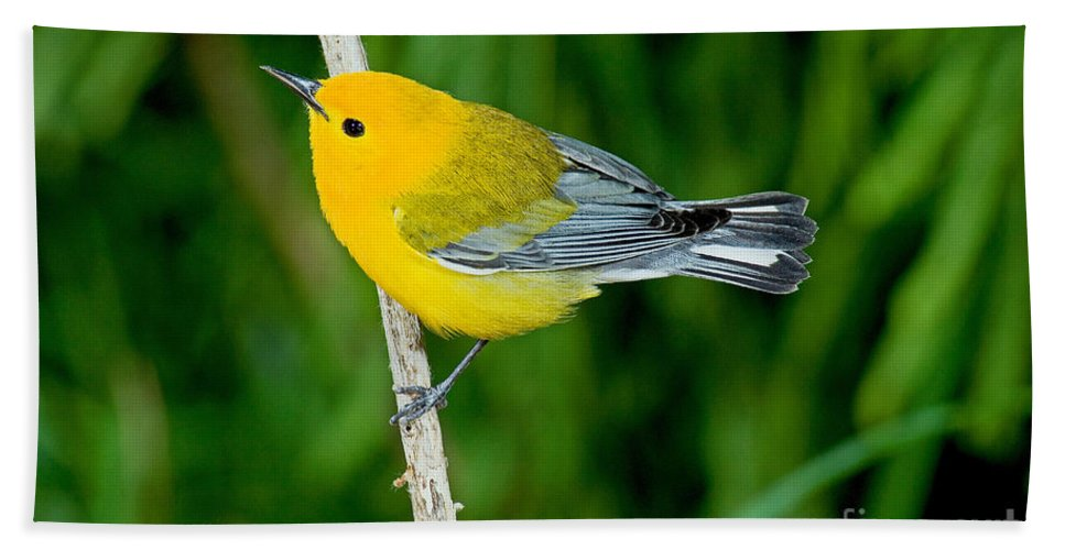 Prothonotary Warbler Hand Towel featuring the photograph Prothonotary Warbler by Anthony Mercieca