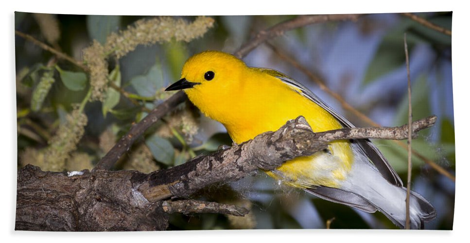 Animal Bath Sheet featuring the photograph Prothonotary Warbler by Jack R Perry