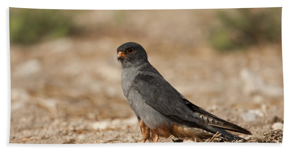 Bird Of Prey Hand Towel featuring the photograph Red Footed Falcon Falco Vespertinus by Eyal Bartov