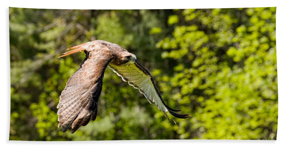 Hawk Bath Sheet featuring the photograph Red Tailed Hawk by Les Palenik