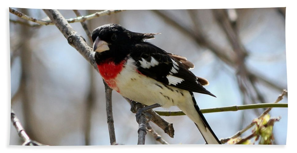 Rose Breasted Grosbeak Bath Sheet featuring the photograph Rose Breasted Grosbeak by Lori Tordsen