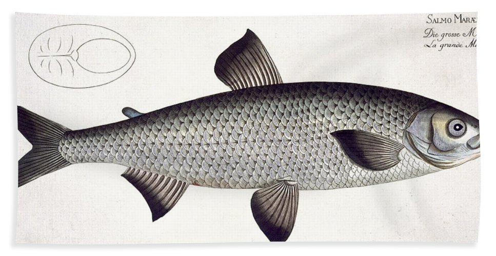Fish Bath Towel featuring the painting Salmon by Andreas Ludwig Kruger