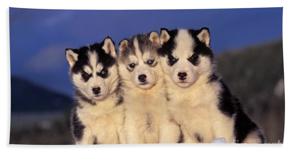 Siberian Husky Bath Sheet featuring the photograph Siberian Husky Puppies by Rolf Kopfle