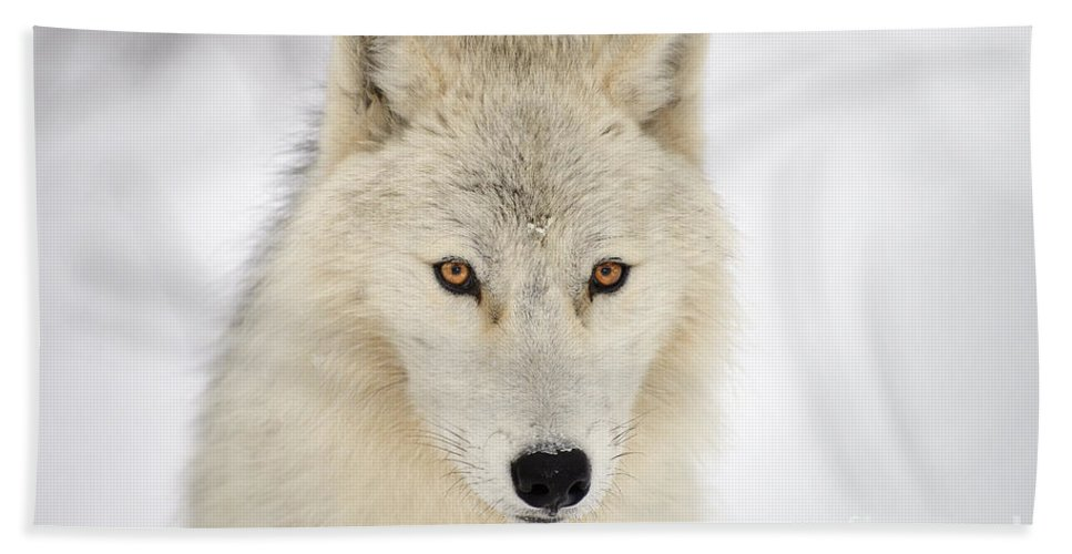 Animalia Bath Sheet featuring the photograph Snow Wolf by Joshua McCullough