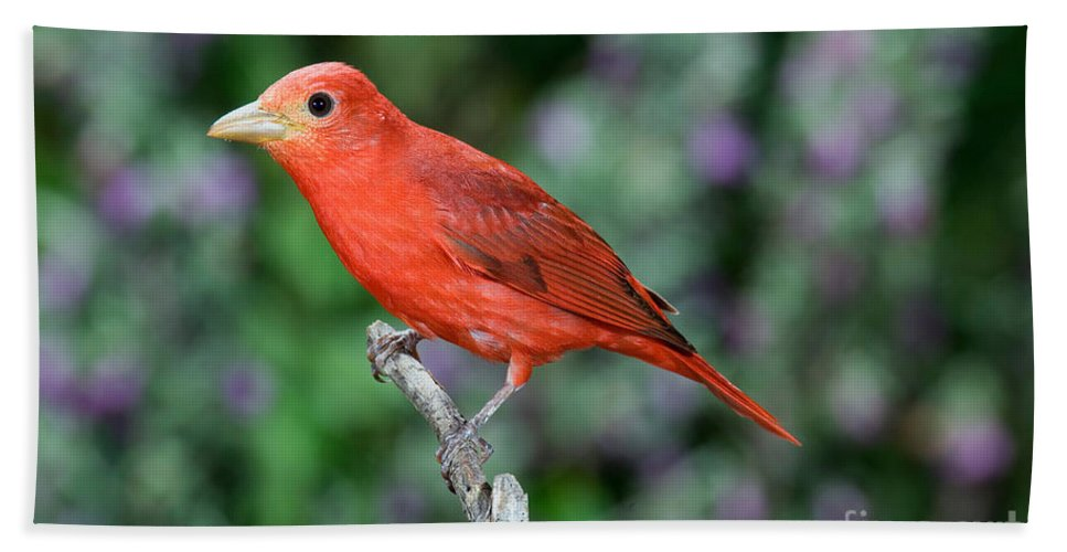 Summer Tanager Hand Towel featuring the photograph Summer Tanager by Anthony Mercieca
