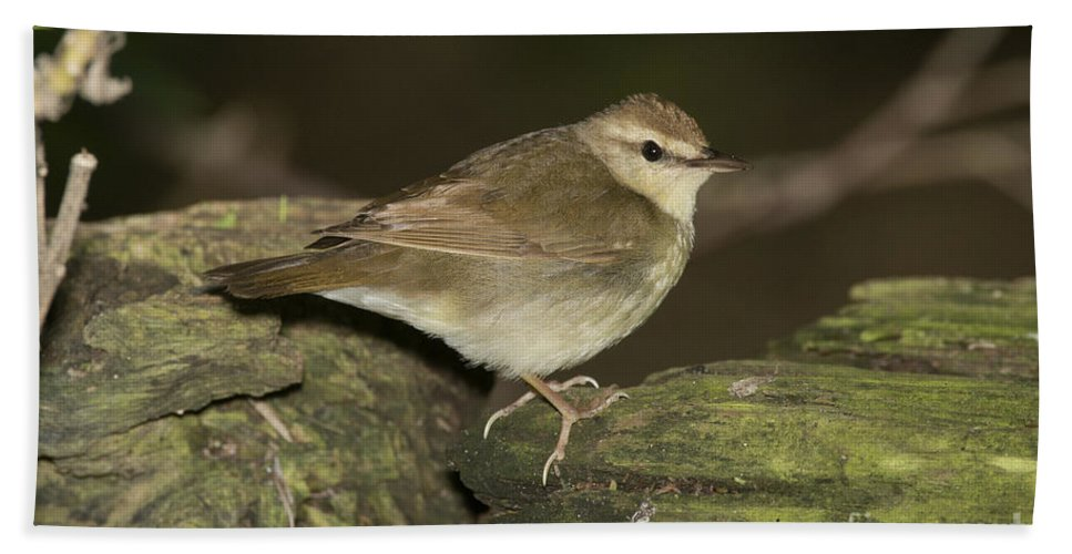 Swainson's Warbler Hand Towel featuring the photograph Swainsons Warbler by Anthony Mercieca