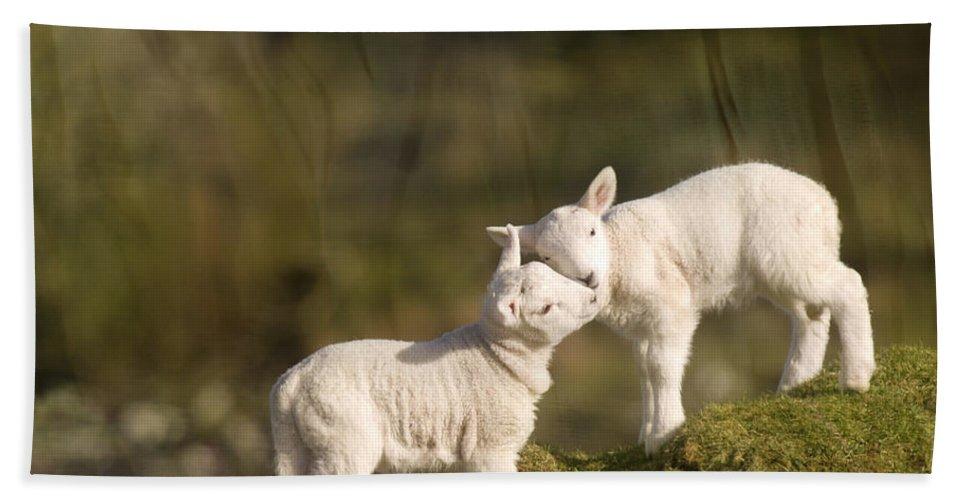 Sheep Hand Towel featuring the photograph Sweet Little Lambs by Angel Ciesniarska