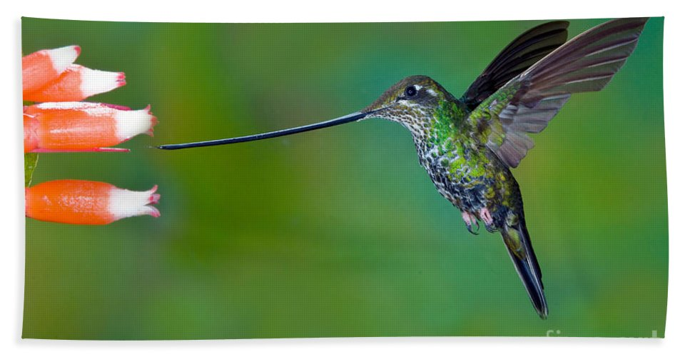 Animal Hand Towel featuring the photograph Sword-billed Hummingbird by Anthony Mercieca
