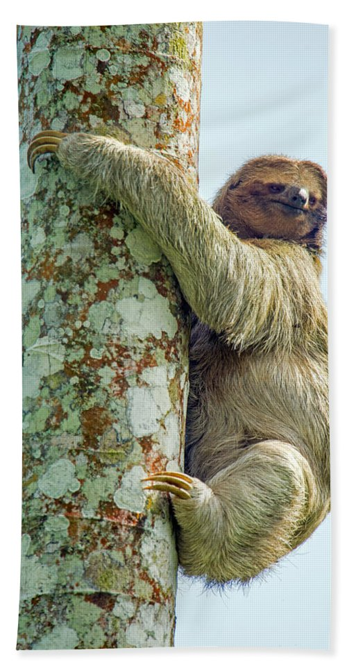 Photography Hand Towel featuring the photograph Three-toed Sloth Bradypus Tridactylus by Panoramic Images