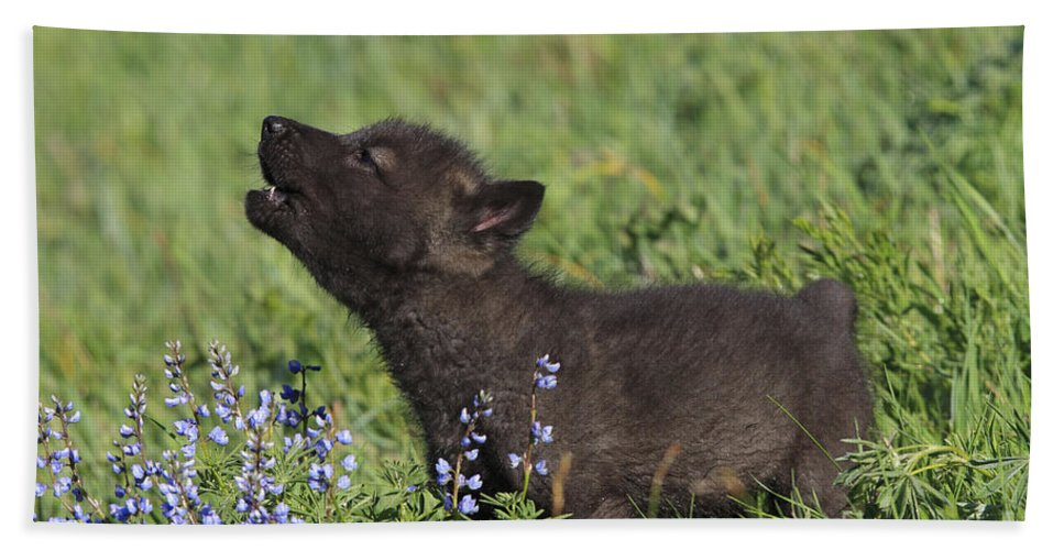 Grey Bath Towel featuring the photograph Timber Wolf Cub, Canis Lupus by M. Watson