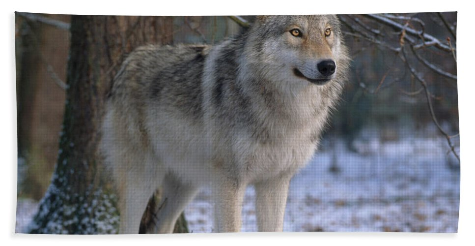 Gray Wolf Bath Towel featuring the photograph Timber Wolf 1 by Hans Reinhard