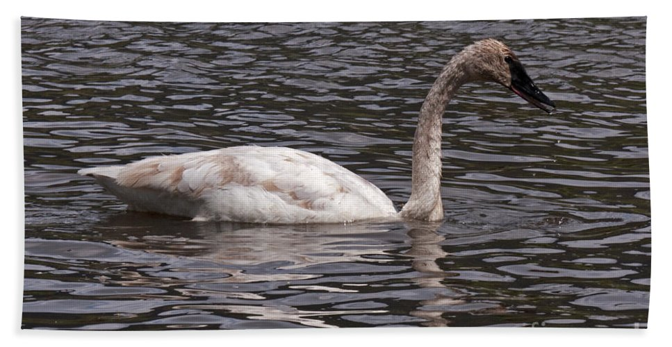 Afternoon Bath Sheet featuring the photograph Trumpeter Swan by Fred Stearns