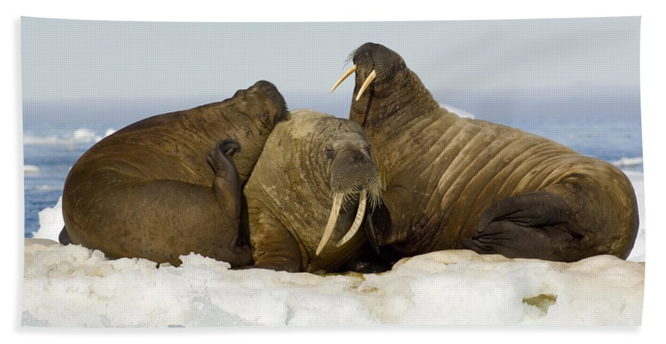 Walrus Bath Sheet featuring the photograph Walruses Resting On Ice Floe by John Shaw