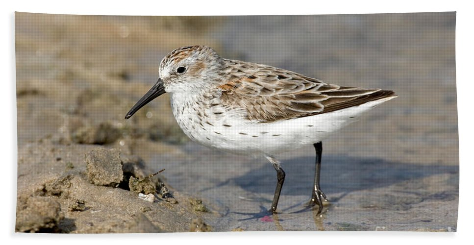 Animal Hand Towel featuring the photograph Western Sandpiper Calidris Mauri by Anthony Mercieca