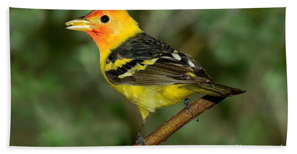 Animal Hand Towel featuring the photograph Western Tanager by Anthony Mercieca