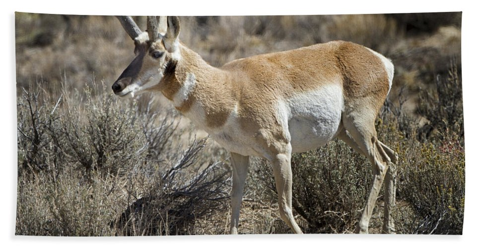 Nature Hand Towel featuring the photograph Wyoming Pronghorn by Ronald Lutz