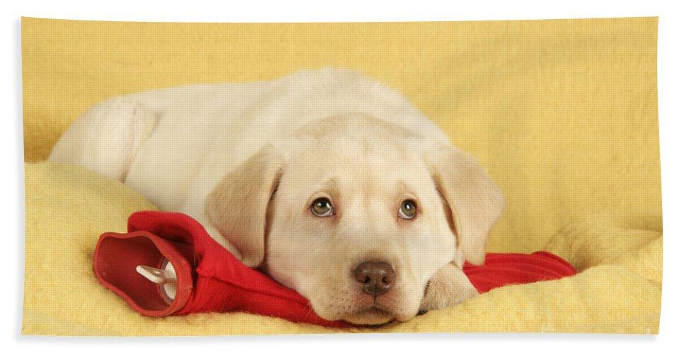 Labrador Retriever Bath Sheet featuring the photograph Yellow Labrador Puppy by John Daniels