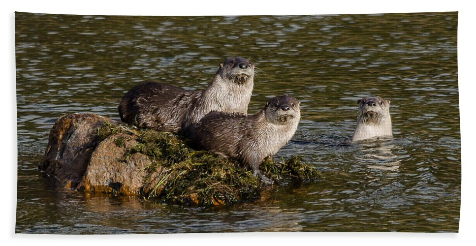Otters Hand Towel featuring the photograph Yellowstone Otters by Yeates Photography