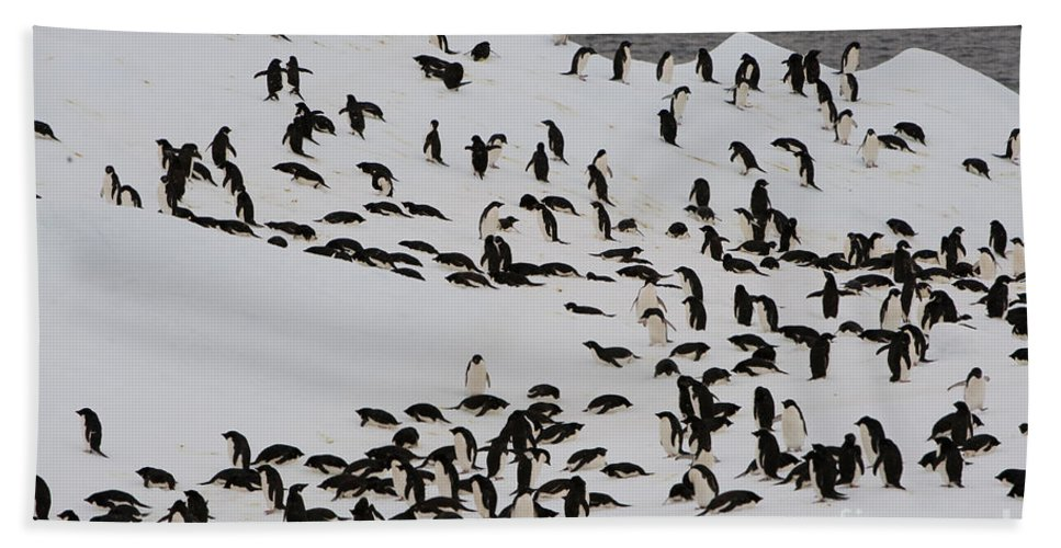 Iceberg Bath Sheet featuring the photograph Adelie Penguins by John Shaw