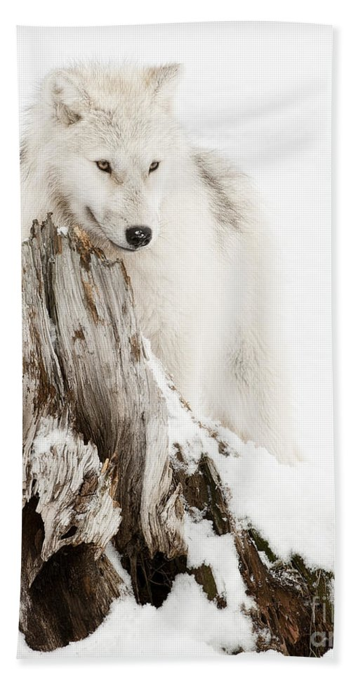 Arctic Wolf Photography Hand Towel featuring the photograph Arctic Wolf Pup by Wolves Only
