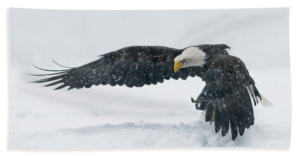 Alaska Hand Towel featuring the photograph Bald Eagle Haliaeetus Leucocephalus by Josh Miller