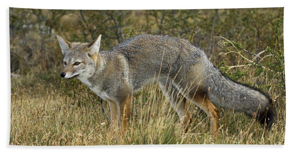 Patagonia Grey Fox Bath Sheet featuring the photograph Patagonia Grey Fox by John Shaw