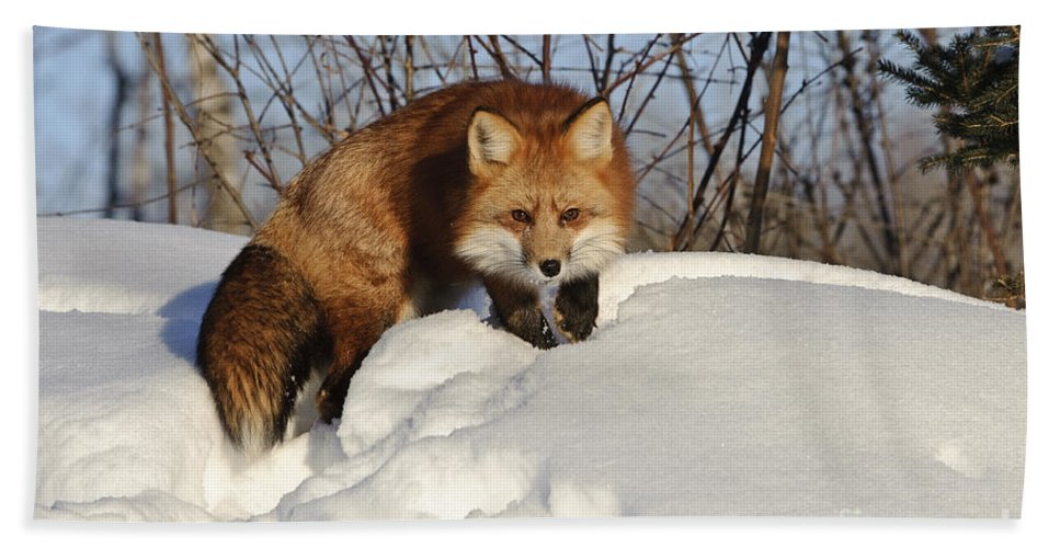 Minnesota Fauna Hand Towel featuring the photograph Red Fox by John Shaw