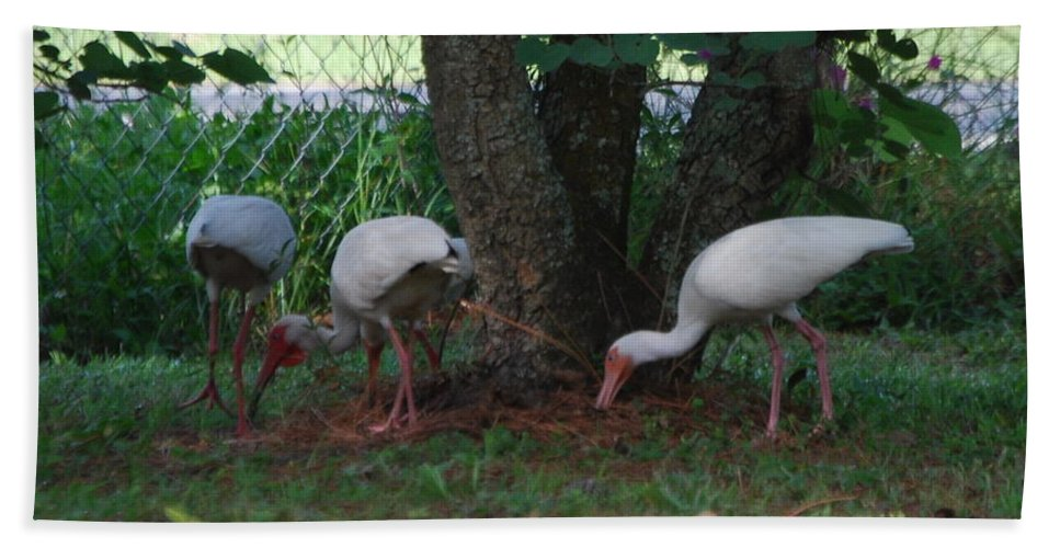 Digging For Bugs Hand Towel featuring the photograph White Ibis by Robert Floyd