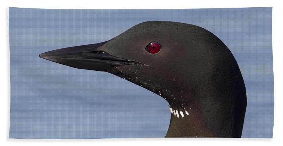 Doug Lloyd Bath Sheet featuring the photograph Common Loon by Doug Lloyd