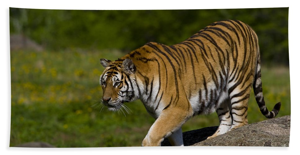 Asia Bath Sheet featuring the photograph Siberian Tiger, China by John Shaw