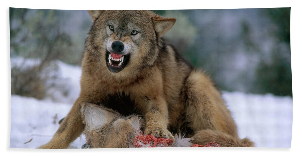 Gray Wolf Bath Towel featuring the photograph Timber Wolf by Hans Reinhard