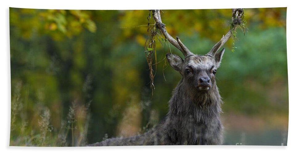 Sika Deer Bath Sheet featuring the photograph 110307p070 by Arterra Picture Library