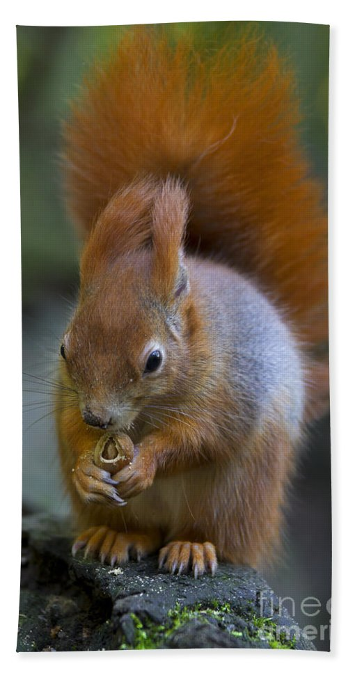 Red Squirrel Bath Sheet featuring the photograph 110307p076 by Arterra Picture Library