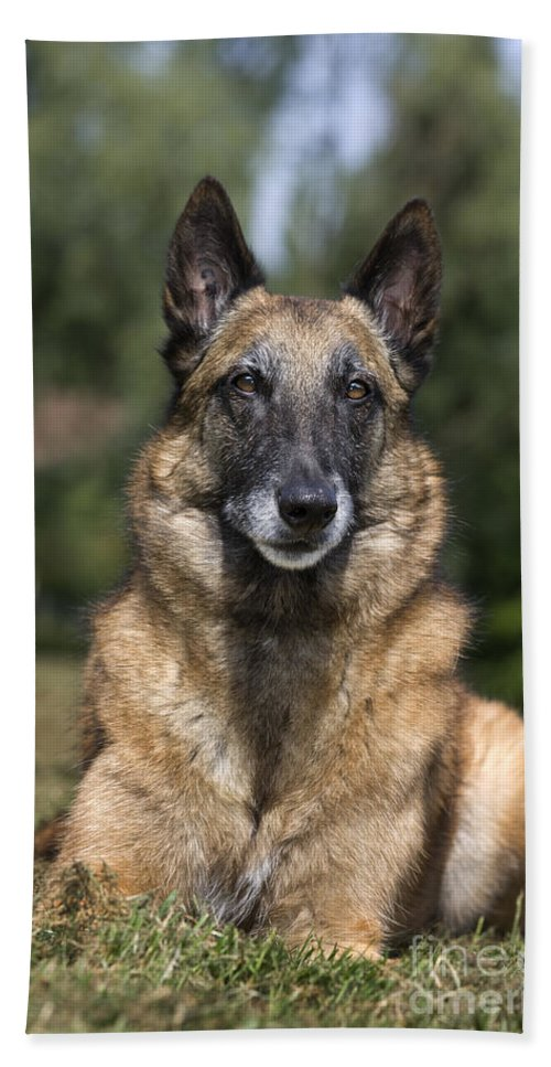 Belgian Shepherd Dog Bath Sheet featuring the photograph 110506p117 by Arterra Picture Library