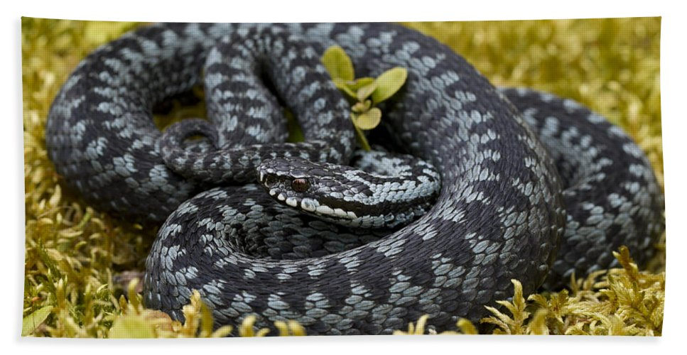 Common European Adder Bath Sheet featuring the photograph 110714p096 by Arterra Picture Library