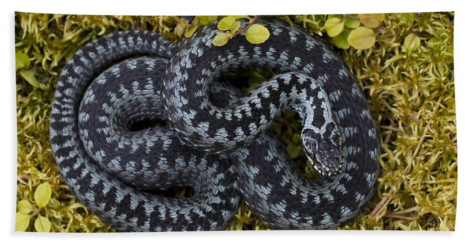 Common European Adder Bath Sheet featuring the photograph 110714p099 by Arterra Picture Library