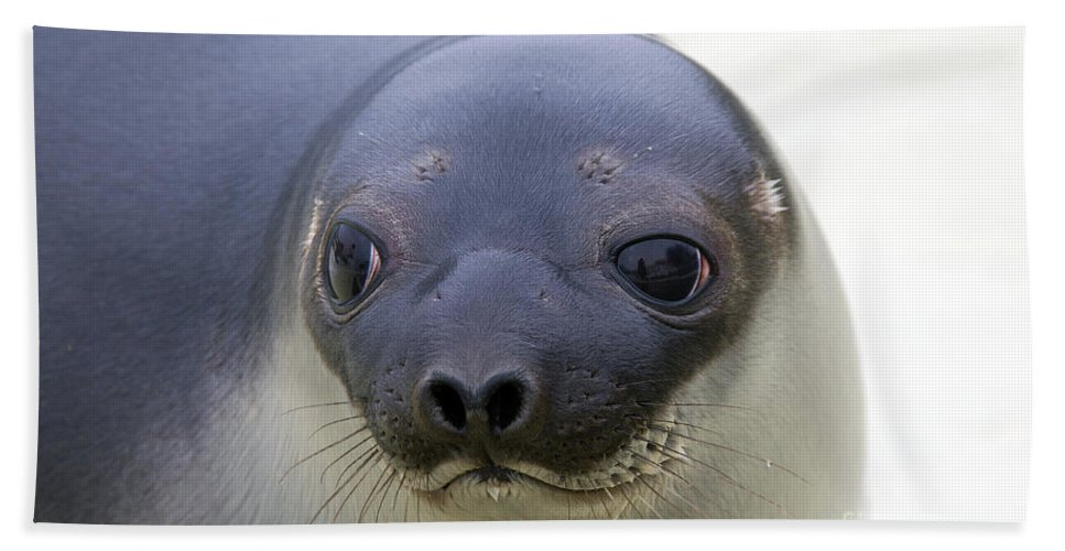 Hooded Seal Bath Sheet featuring the photograph 110714p130 by Arterra Picture Library